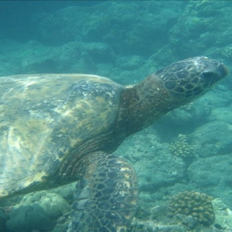 Sea Turtle Passing By While Snorkeling